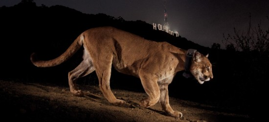 Photo credit: Steve Winter as shown in Alexa Keefe, A Cougar Ready for His Closeup,  National Geographic (November 14, 2013).