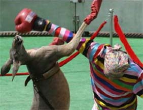 Photo credit: Getty Image.  An kangaroo take a hard right that serves as a blow to the animal team claim of boxing dominance.  Team human is represented by man in a clown suit at the annual Animal Olympics in China.